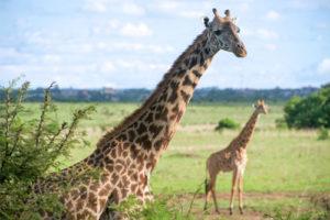 Un circuit au Kenya, une opportunité d'explorer des parcs captivants